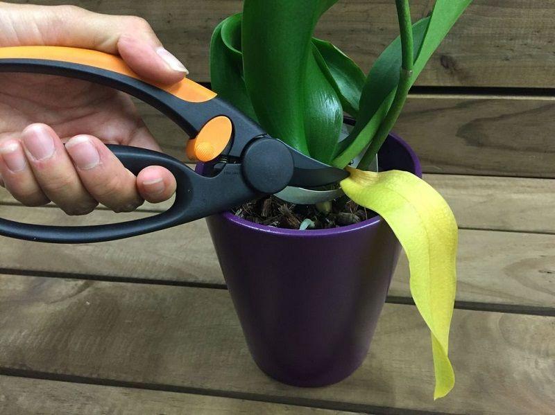podar una orquídea, eliminar hojas marchitas