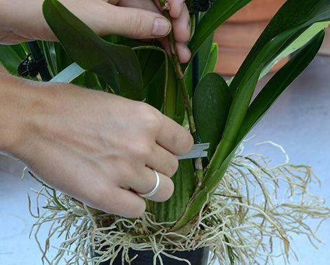 podar una orquídea oncidium