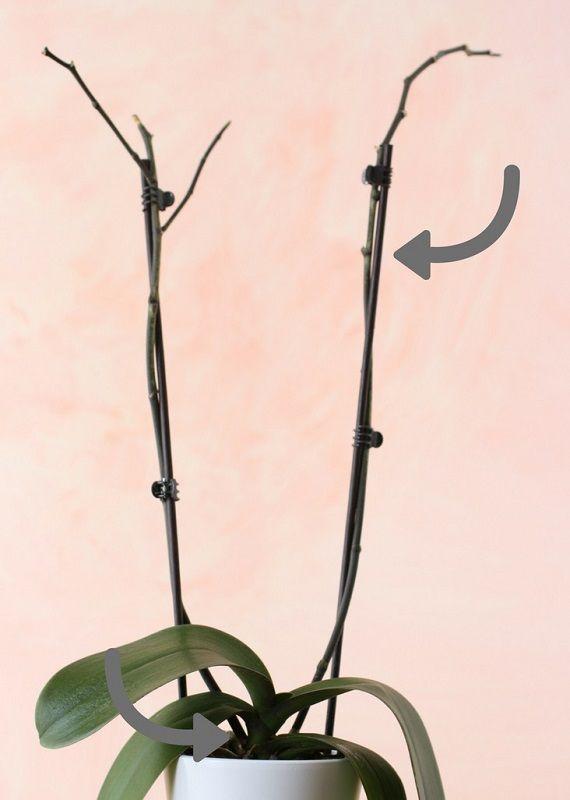 podar una orquídea phalaenopsis vara floral