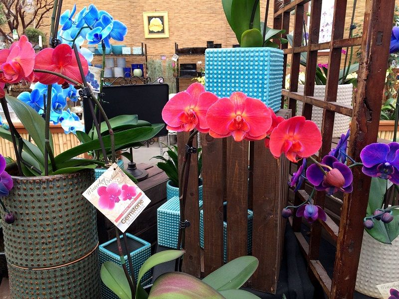 significado de la orquídeas, regalar orquídeas