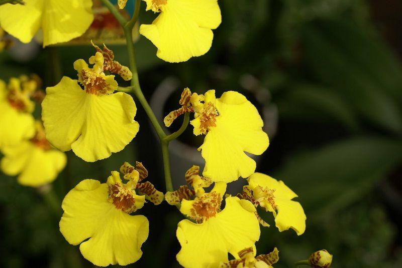 significado de las orquídeas, orquídeas amarillas