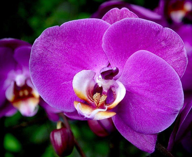 significado de las orquídeas, orquídeas moradas