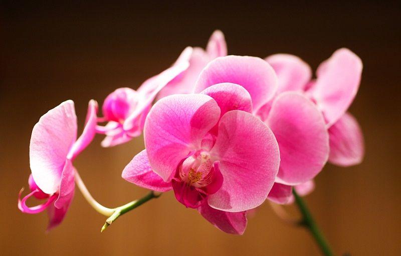 significado de las orquídeas, orquídeas rosas