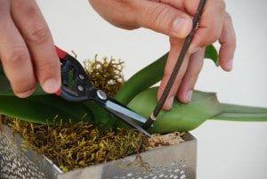 tijeras para podar una orquídea