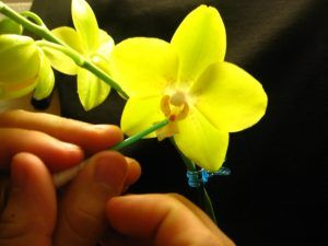 como reproducir orquídeas de forma sexual