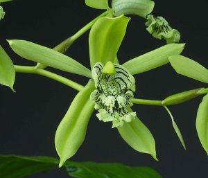 orquídea coelogyne, ficha