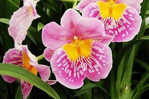 orquídea miltonia, ficha