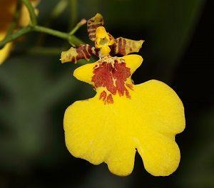 orquídea oncidium, ficha