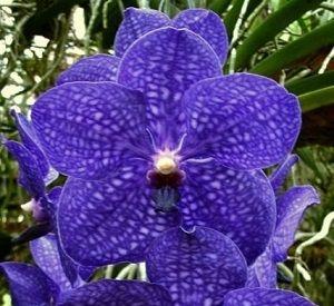 Orquideas Azules Significado Cuidados Fotos De Orquideas
