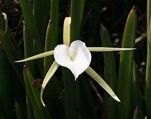 ficha orquídea brassavola