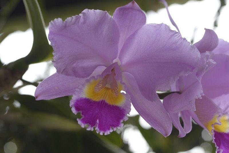 flor nacional de colombia, orquídea cattleya trianae