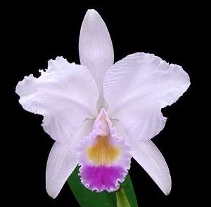 orquídea cattleya trianae, ficha