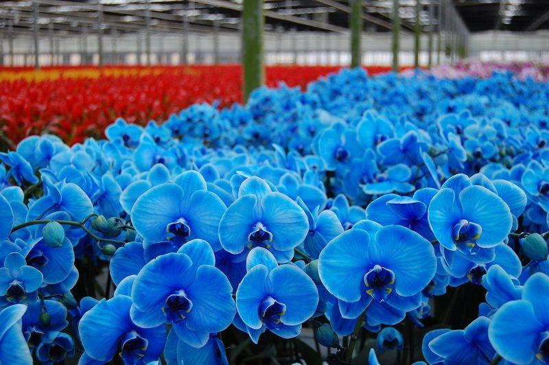Cultivo de orquídeas azules