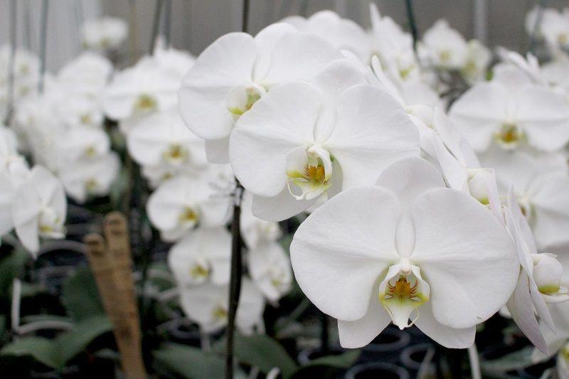 Cultivo de orquídeas blancas