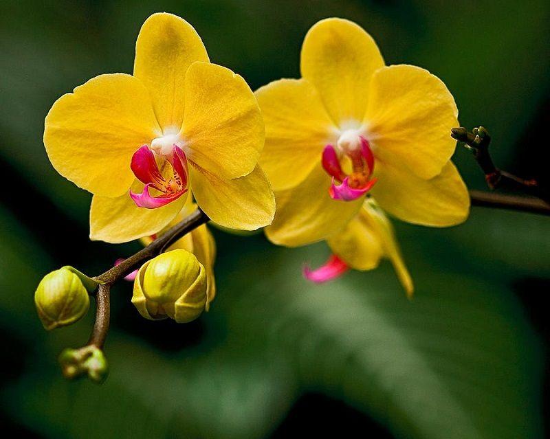Dos orquídeas amarillas
