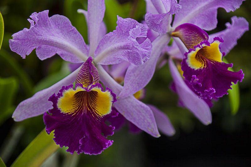 Dos orquídeas moradas
