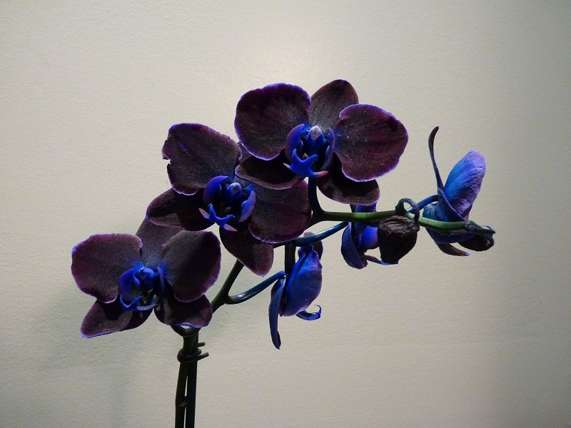 Foto de orquídea negra Phalaenopsis