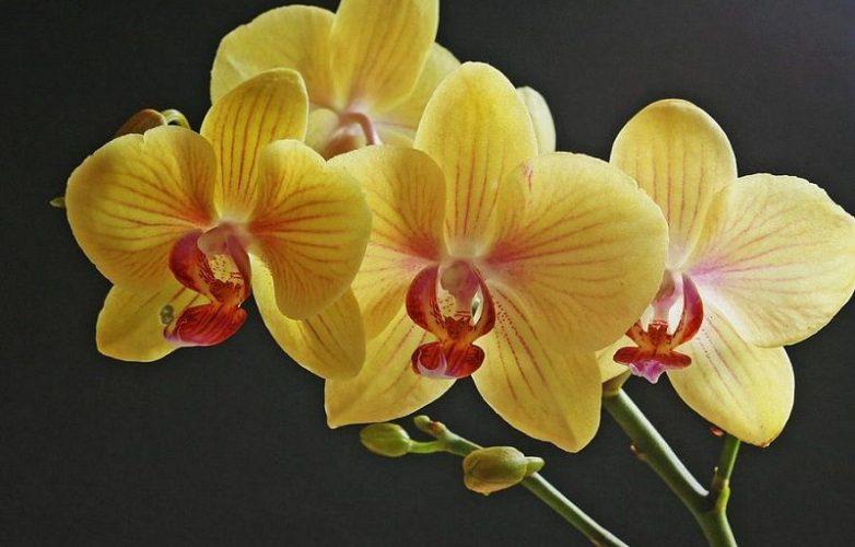 Foto de orquídeas amarillas para poster