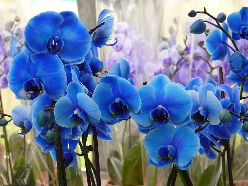 Foto de orquídeas azules para salvapantallas
