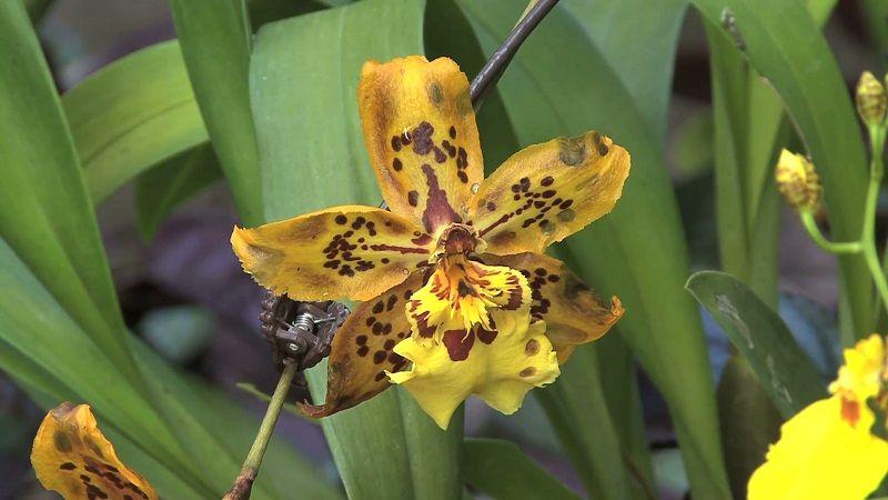 Foto de una orquídea amarilla