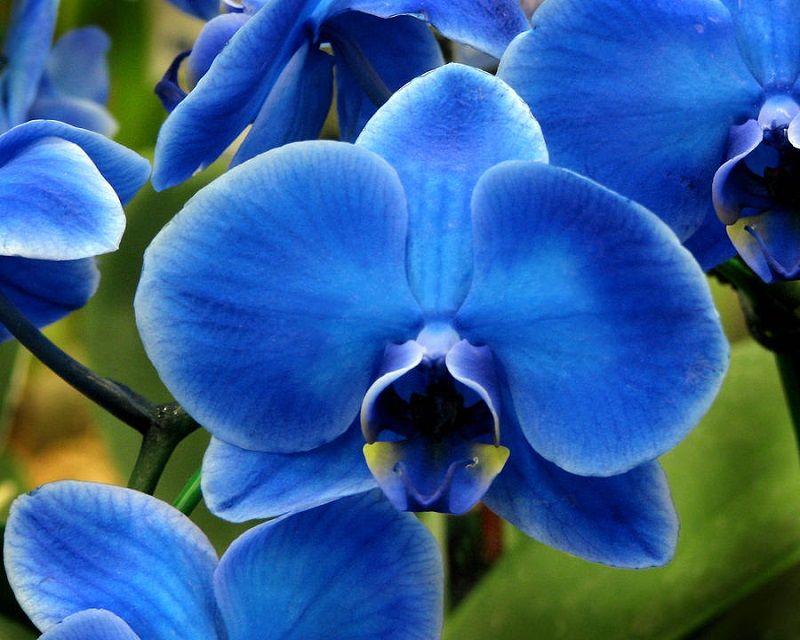 Foto de una orquídea azul