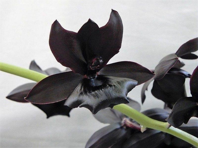 Imágen de la orquídea negra Brujería