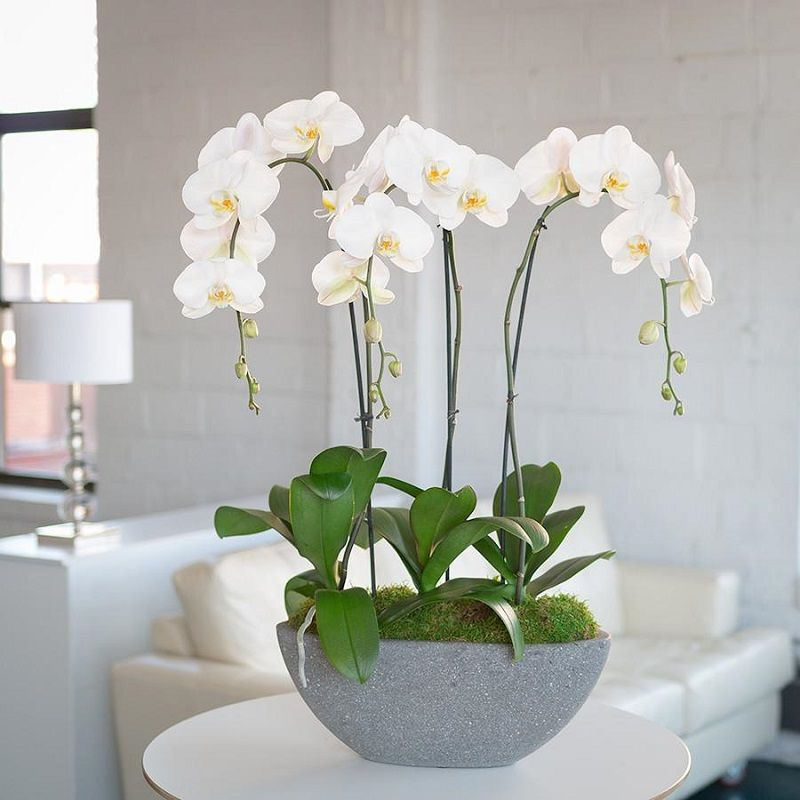 Maceta con orquídeas blancas
