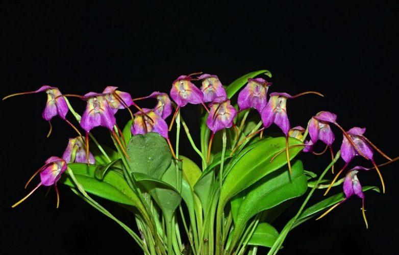 Masdevallia chaparensis gigi