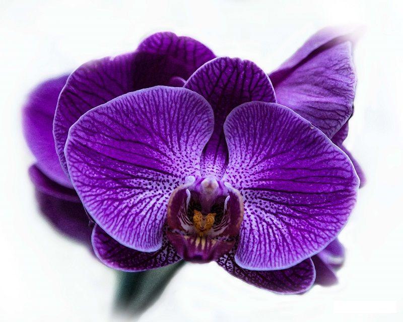 Orquídea morada Phalaenopsis para utilizar como cuadro