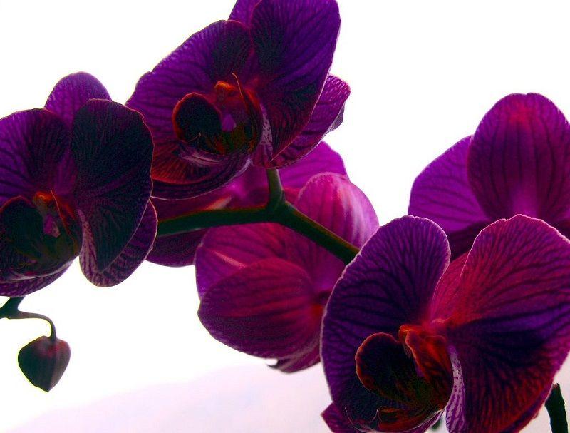 Orquídeas Phalaenopsis moradas