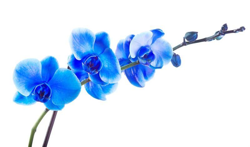 Orquídeas azules para poster