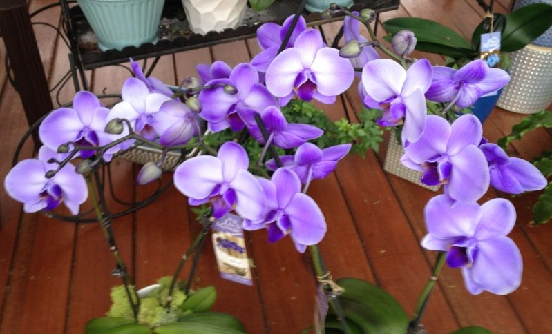 Orquídeas lila Phalaenopsis