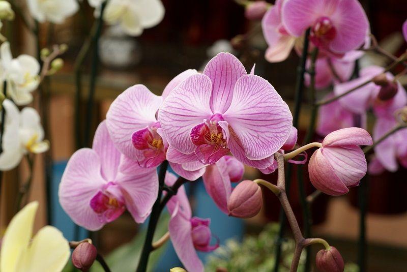 Phalaenopsis orquídea rosa