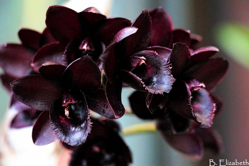 Salvapantallas con orquídeas negras