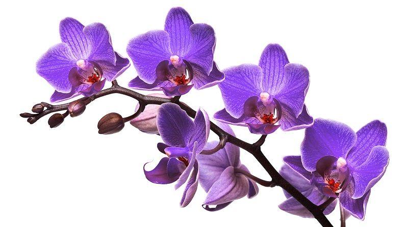 Salvapantallas de orquídeas moradas