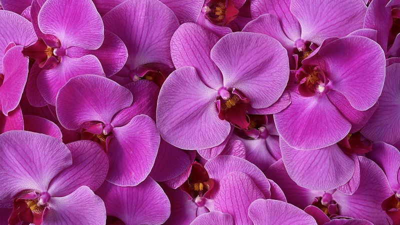 Salvapantallas orquídeas lila