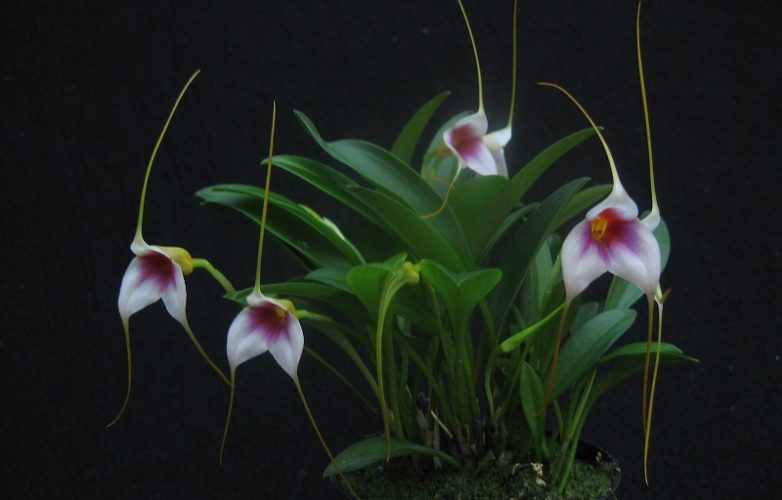 masdevallia exquisita mary