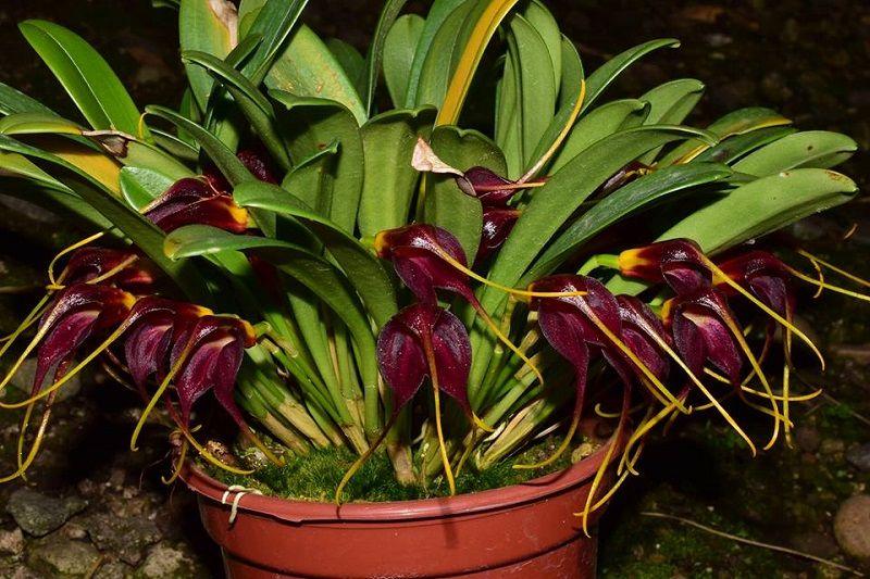orquídea masdevallia rolfeana, orquídea negra