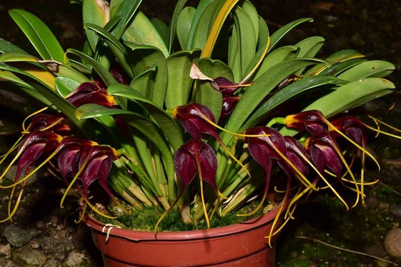 orquídea masdevallia rolfeana