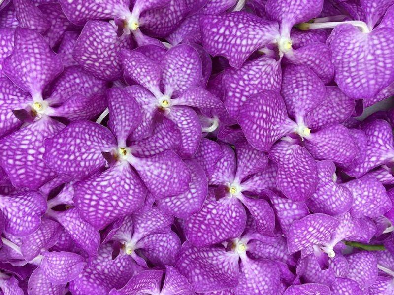 orquídeas lila Vanda