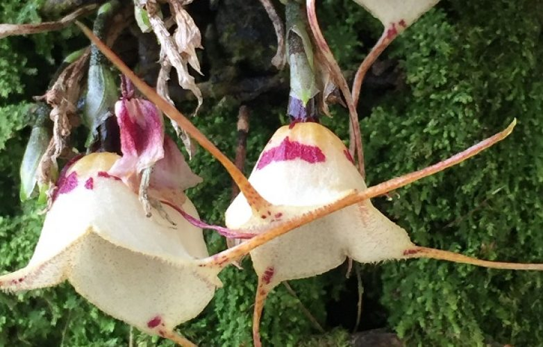 Orquídea Dracula inaecualis