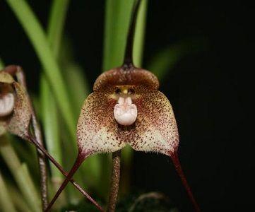 ficha orquídea drácula