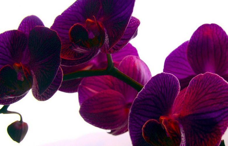 flores de orquídeas moradas