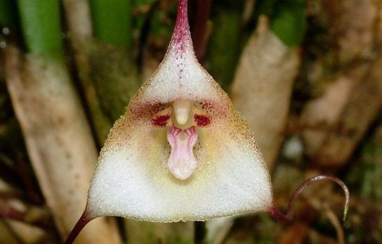 orquídea drácula félix