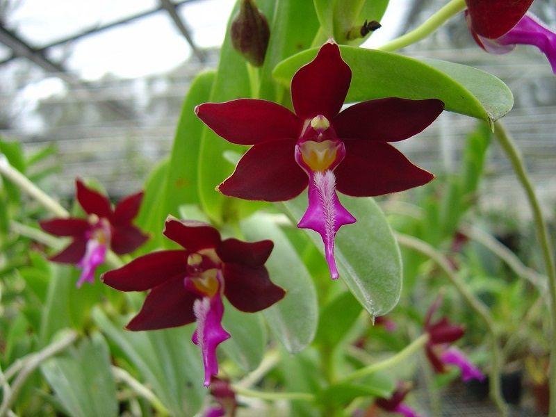 orquídea negra, Trichoglottis atropurpurea