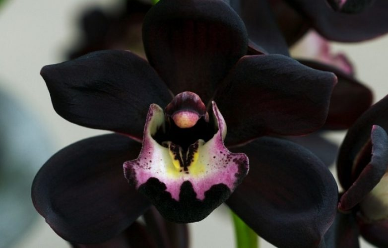 orquídea negra, fotos