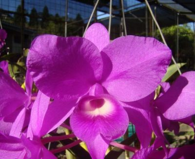 Orquídeas de Costa Rica