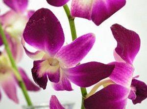 orquídeas moradas, dendrobium