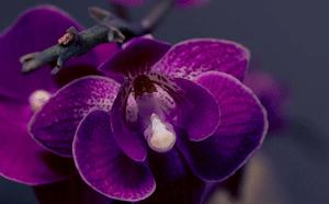 orquídeas moradas, phalaenopsis
