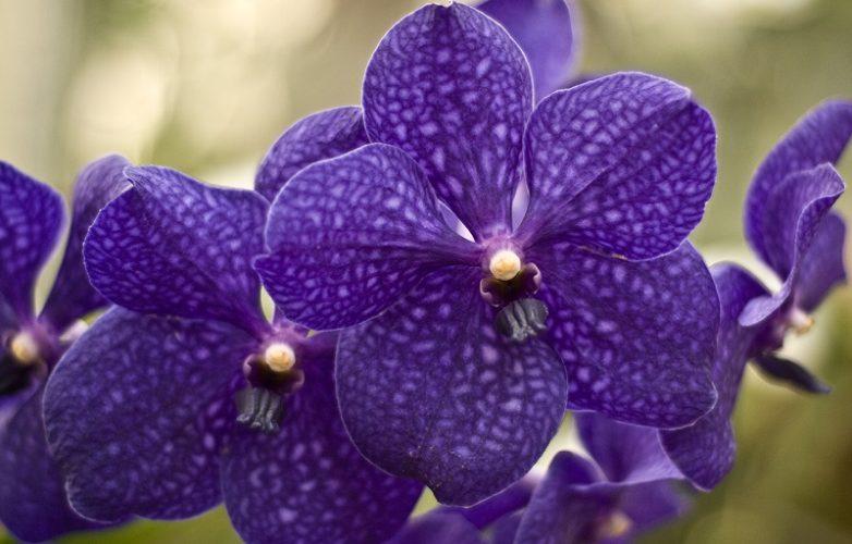 orquídeas moradas vanda en la naturaleza